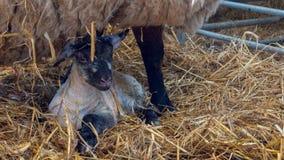 La pecora delle pecore lecca il suo agnello dopo avere dato alla luce fotografia stock