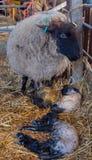 La pecora delle pecore lecca il suo agnello dopo avere dato alla luce fotografie stock libere da diritti