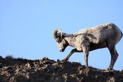 La pecora di Bighorn che scava in su sradica fotografie stock libere da diritti