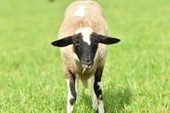 La pecora domestica cammina su un prato e mangia l'erba immagine stock