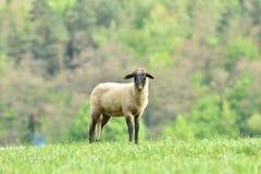 La pecora domestica cammina su un prato e mangia l'erba immagine stock libera da diritti