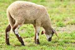 La pecora domestica cammina su un prato e mangia l'erba immagini stock libere da diritti