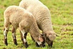 La pecora domestica cammina su un prato e mangia l'erba fotografie stock