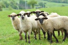 La pecora domestica cammina su un prato e mangia l'erba immagini stock