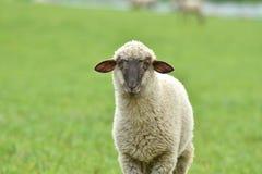 La pecora domestica cammina su un prato e mangia l'erba fotografie stock libere da diritti