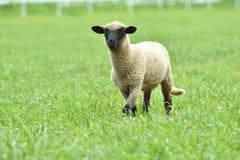 La pecora domestica cammina su un prato e mangia l'erba fotografia stock libera da diritti