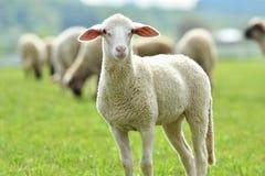 La pecora domestica cammina su un prato e mangia l'erba fotografia stock