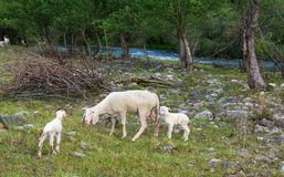 La pecora e gli agnelli pasce nel prato Immagini Stock Libere da Diritti