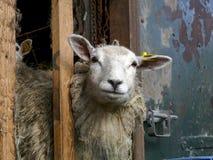 La pecora guarda, dà una occhiata a attraverso gli scaffali della stalla, con un mazzo di paglie in sua lana fotografie stock