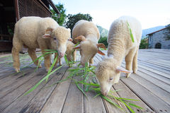 La pecora merino che mangia l'erba verde va sul pavimento di legno del beautifu Fotografia Stock Libera da Diritti
