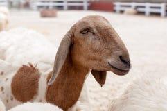 La pecora nell'azienda agricola sta aspettando l'alimento Fotografie Stock Libere da Diritti