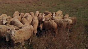 La pecora pasce al campo stock footage