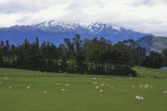 La pecora pascola la Nuova Zelanda Immagini Stock