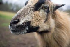 La pecora saggia guarda da parte a parte Fotografia Stock