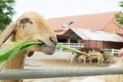 La pecora sta mangiando l'erba in un'azienda agricola immagini stock libere da diritti