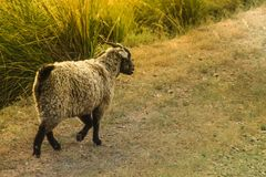 La pecora vispa allegra salta attraverso il campo immagini stock