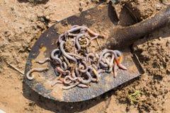 La pelle de baïonnette complètement du ver de terre est sur le sol d'argile Photo stock