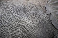 La pelle di un elefante, l'orecchio dell'elefante. Fotografia Stock Libera da Diritti