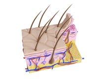 La pelle umana illustrazione vettoriale