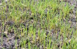 La pelouse germe après l'ensemencement photographie stock