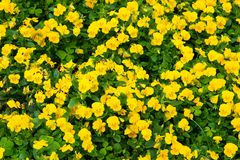 La pensée fleurit en fleur à Hamilton, Bermudes Fleurs jaunes de pensée avec les feuilles vertes Fleurs fleurissant dans le jardi image libre de droits