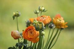 La peonía anaranjada fresca subió Imagen de archivo libre de regalías