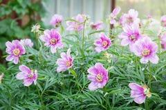 La peonía es herbácea Florecimiento Imagen de archivo libre de regalías