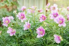 La peonía es herbácea Florecimiento Fotografía de archivo