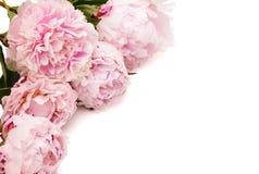 La peonía rosada Foto de archivo libre de regalías