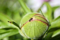 La peonia ha chiamato Paeonia inoltre fotografia stock