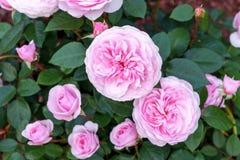 La peonia inglese di fioritura è aumentato arbusto nel giardino un giorno soleggiato Olivia David Austin immagine stock libera da diritti