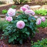 La peonia inglese di fioritura è aumentato arbusto nel giardino un giorno soleggiato Olivia David Austin fotografia stock libera da diritti