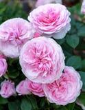 La peonia inglese di fioritura è aumentato arbusto nel giardino un giorno soleggiato Olivia David Austin fotografie stock libere da diritti