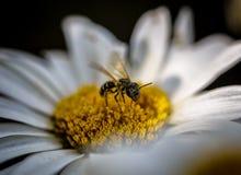 La pequeña abeja Imagenes de archivo