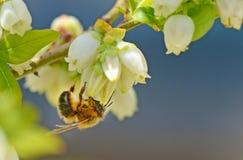 La pequeña abeja cuelga de una floración del arándano Imágenes de archivo libres de regalías