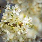 La pequeña abeja disfruta de la primavera Imagen de archivo