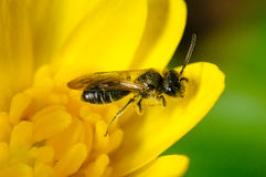 La pequeña abeja en la flor amarilla recoge el polen de la primavera Imagenes de archivo