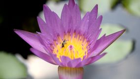 La pequeña abeja está seduciendo el loto púrpura en el pote para encontrar el agua dulce almacen de video