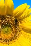 La pequeña abeja está trabajando en el girasol refinado Foto de archivo
