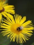 La pequeña abeja poliniza una margarita amarilla Imagenes de archivo