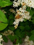 La peque?a abeja que trabaja siempre para producir una buena miel imágenes de archivo libres de regalías