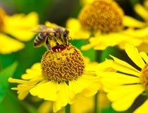 La pequeña abeja recoge el néctar en la flor amarilla Fotos de archivo