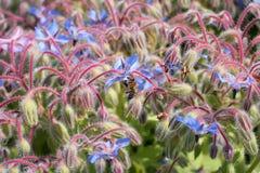 La pequeña abeja recoge el polen en un campo azul Imagen de archivo libre de regalías