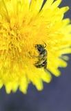 La pequeña abeja recolecta el néctar de la flor amarilla del diente de león Foto de archivo libre de regalías