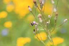 La pequeña abeja recolecta el néctar de una flor púrpura del cardo Imagen de archivo libre de regalías
