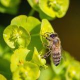 La pequeña abeja se sienta en la flor verde Imagenes de archivo