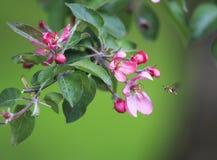 La pequeña abeja vuela sobre una rama de un árbol con flo rosado hermoso Fotos de archivo