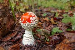 La pequeña amanita de la seta conocida como agárico de mosca crece en el bosque - imagen imagen de archivo