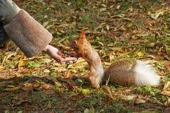 La pequeña ardilla roja linda come tuercas de la mano Fotografía de archivo