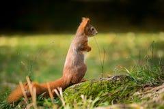 La pequeña ardilla se sienta en el bosque Fotografía de archivo